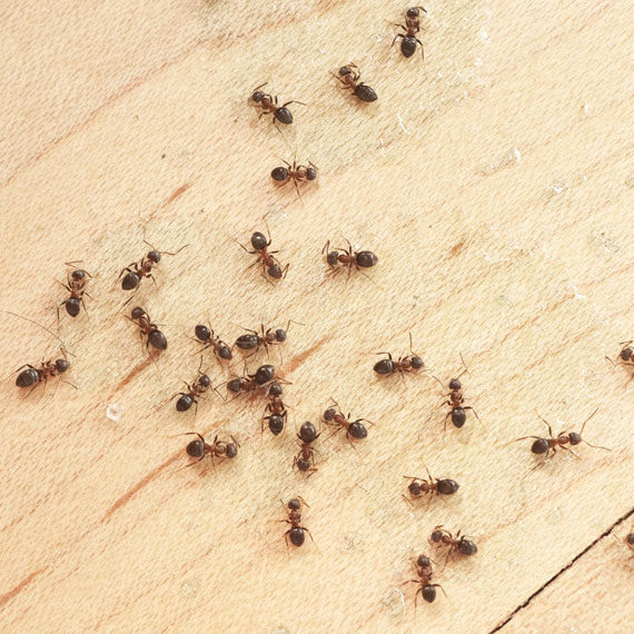 Ant Control Tips & Advice